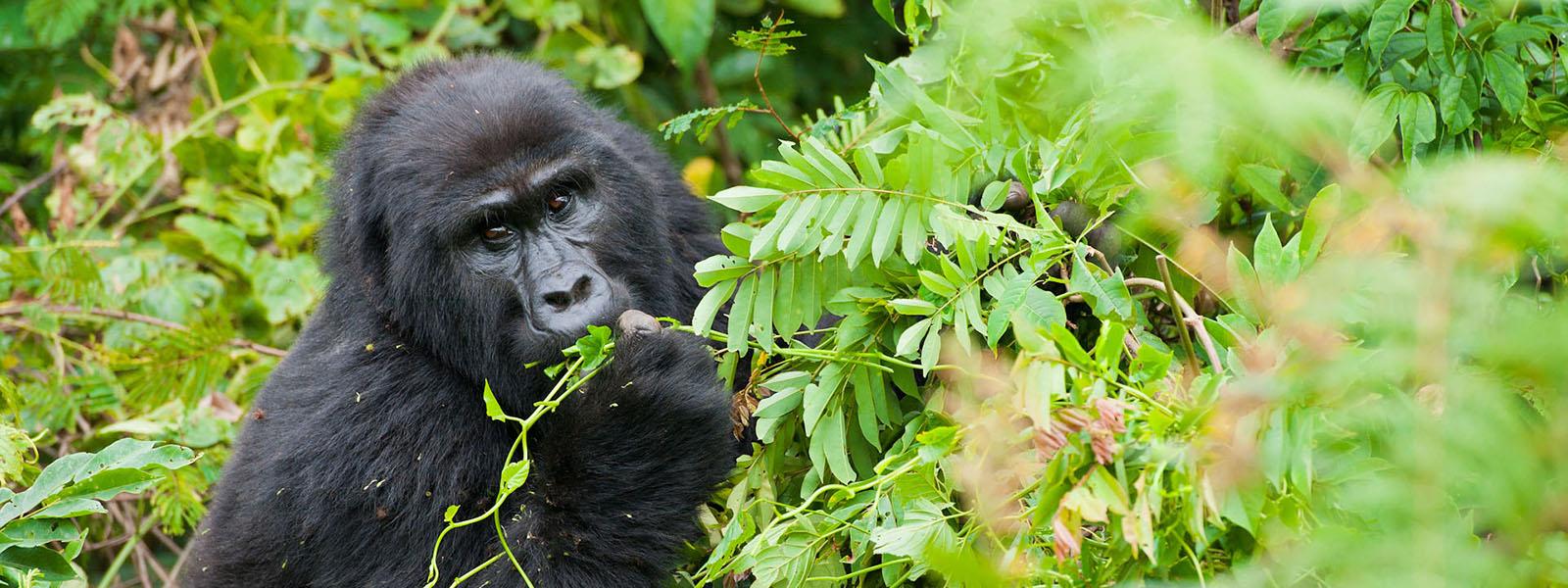 DRC Congo Gorilla Safaris