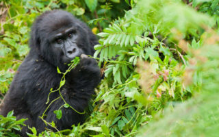 3 Days Bwindi Gorilla Habituation