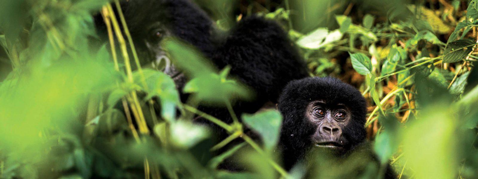 Gorilla Trekking Uganda From Kigali Bwindi Tours Starting Kigali