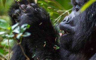 Gorilla Habituation in Rushaga Sector of Bwindi in Uganda