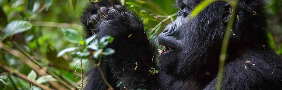 Gorilla Habituation in Rushaga Sector of Bwindi in Uganda