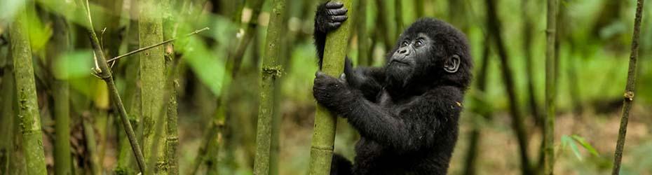 Uganda gorillas from Kigali