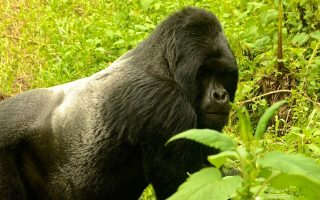 4 Days Gorilla Trekking Combo Safari