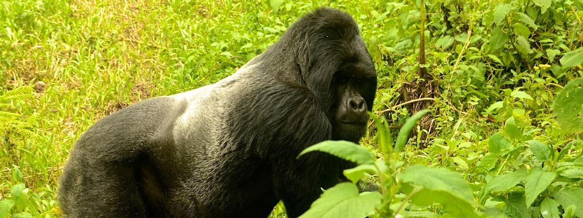 4 Days Gorilla Trekking Combo Safari