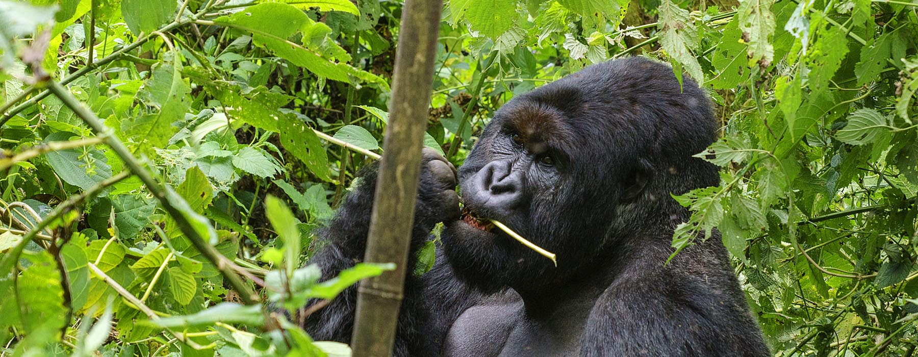 2 Days Virunga Gorilla Trekking in Congo