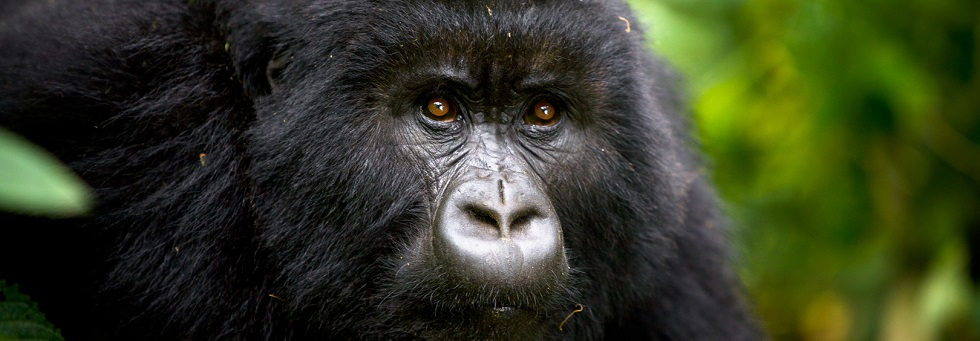 3 Days Congo Gorilla Trekking in Virunga