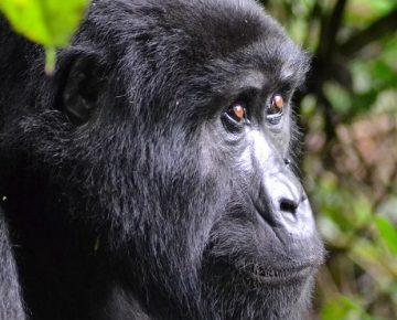 4 Days Rwanda Double Gorilla Trekking
