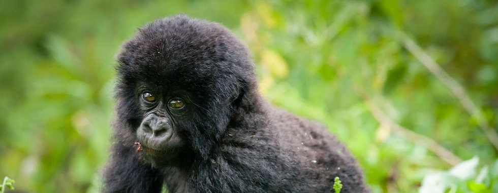 4 Days Virunga Gorillas & Nyiragongo Hiking