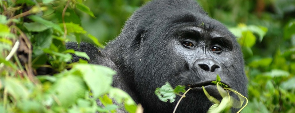 5 Days Bwindi Gorilla Circuit