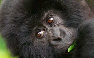 Price of Gorilla Trekking in Uganda