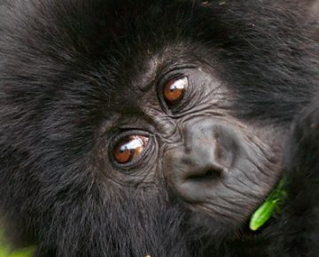 Price of Gorilla Trekking in Uganda