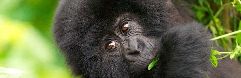 5 Days Triple Gorilla Trekking