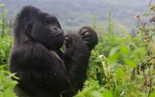 Important Tips for Gorilla Trekking
