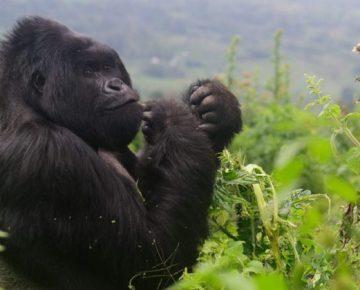 Important Tips for Gorilla Trekking