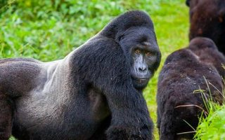 Full list of Congo Gorilla Families