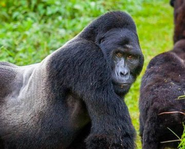 Full list of Congo Gorilla Families