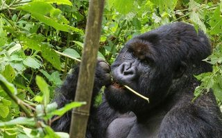 Gorilla Trekking in the high season