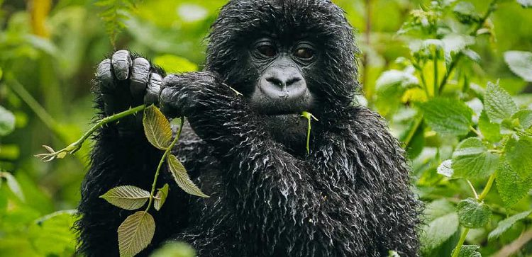 Full list of Rwanda Gorilla Groups