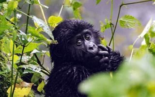Gorilla Sectors of Bwindi