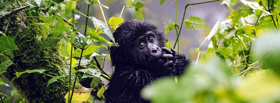 Gorilla Sectors of Bwindi