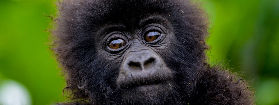 Rare Mountain Gorilla Facts you didn't know