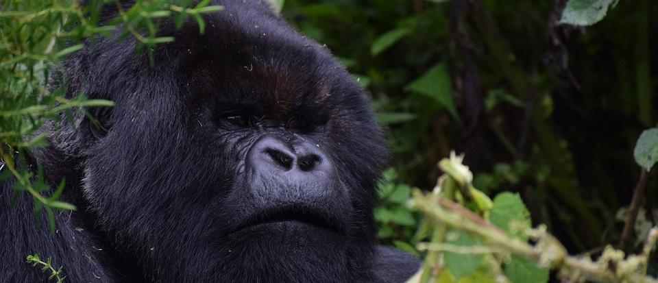 Rushaga Gorilla Families