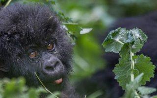 How do Mountain Gorillas adapt to the environment