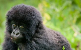 Is Gorilla Trekking Safe