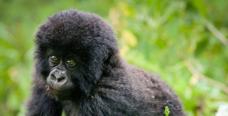 Is Gorilla Trekking Safe