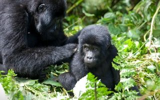 Minimum Age Limit for Gorilla Trekking