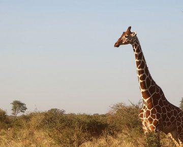 21 Days Rwenzori, Primates & Wildlife Safari in Uganda