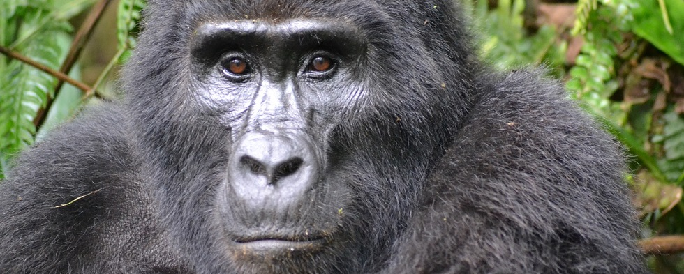 Benefits of Gorilla Trekking Tourism