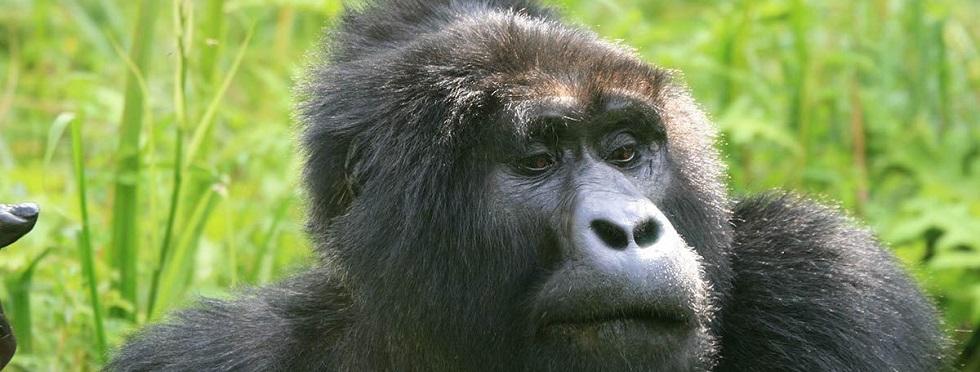 Bitukura Gorilla Family