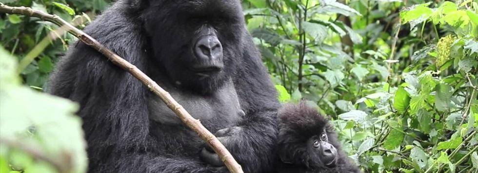 Kwitonda Gorilla Group