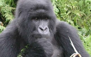 Kyaguriro Gorilla Group