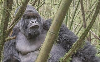 Muhoza Gorilla Group