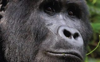 Oruzogo Gorilla Group