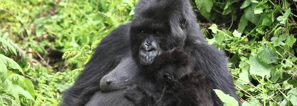 Pablo Gorilla Family
