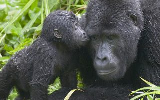 Roles of Gorillas in the Eco System