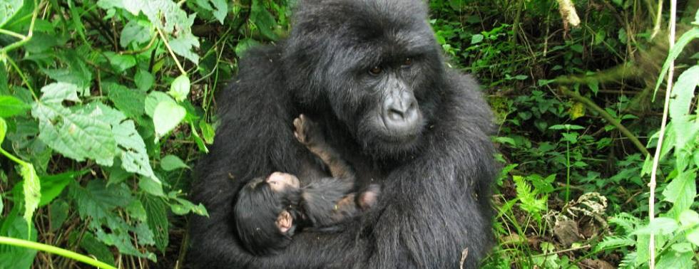 Rugendo Gorilla Group